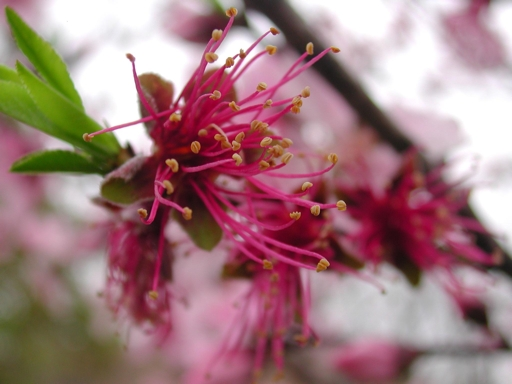 peach-blossom-1