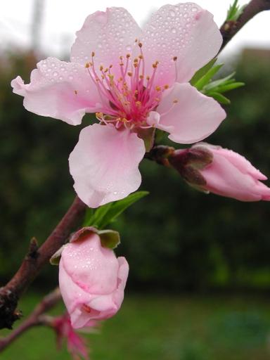 peach-blossom-3