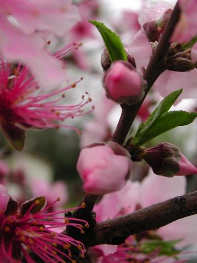 peach-blossom-4